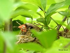 Female Cardinal keeping the eggs warm (naturephoto50) Tags: nest nikon p1000 femalecardinal