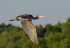 Great Blue Heron in flight. (10) (Estrada77) Tags: greatblueheron inflight herons birds birding foxriver kanecounty illinois wildlife spring2019 outdoors nature nikon nikond500200500mm animals jun2019