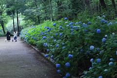 Hydrangea Alley (seiji2012) Tags: japan sagamihara garden hydrangea 相模原北公園 アジサイ 相模原市