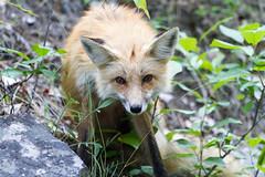 Red Fox (John Sieber) Tags: redfox fishcreek fox