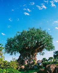 Tree of Life (whittaker54) Tags: pentax spotmatic takumar smc 28mm 35mm film disney world animal kingdom fujifilm superia xtra 400 tree life orlando