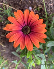 🌺 (✿ Graça Vargas ✿) Tags: africandaisy margarida flower graçavargas daisy ©2019graçavargasallrightsreserved appleiphonexr iphone orange flowerpower 1901224014
