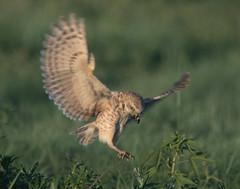 Burrowing Owl 19-31 (trdunn) Tags: burrowingowl male flight colorado weldcounty food