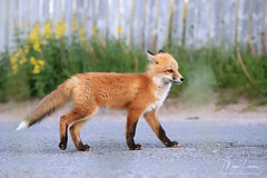 Wanderlust (Megan Lorenz) Tags: redfox fox foxkit kit babyanimals animal mammal walking nature wildlife wild wildanimals newfoundland canada mlorenz meganlorenz