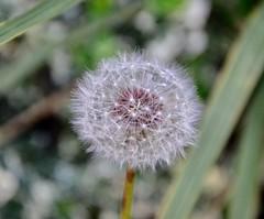 I wish you a #HappyMacroMonday and new week ahead. #dandelion #macro #HMM (Roland 22) Tags: happymacromonday dandelion macro