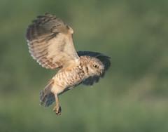 Burrowing Owl 19-30 (trdunn) Tags: burrowingowl male flight colorado weldcounty food