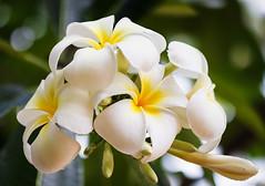 white plumerias (Christine_S.) Tags: closeup macro hawaii honolulu waikiki fortderussypark flowers flower fragrant blossoms canon 32mm mirrorless m5 eos nature park outdoor sunshine bokeh oahu