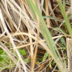 Porzana fluminea (Diana Padrón) Tags: australian crake porzana fluminea