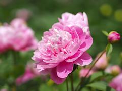 pink peonies (Christine_S.) Tags: flowers flower macro olympus japan omd nature outdoor sunshine spring closeup ibarakiflowerpark ishioka bokeh explore explored ngc npc peony olympusem10markiii