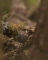 Bewick's Wren (Tom Clifton) Tags: birdingbirdislandpointlobos wren bewr