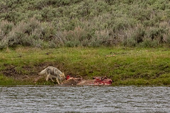 Coyote Having Lunch (FS_photos) Tags: photo spring 60d landscape canon60d nationalpark madisonriver canon 01equipment hdr wildlife coyote photography yellowstonenp outdoors park yellowstonenationalpark outdoorsphotography yellowstone photos