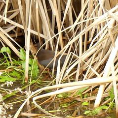 Zapornia tabuensis (Diana Padrón) Tags: spotless crake zapornia tabuensis