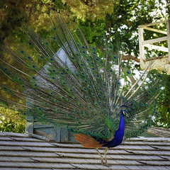 02469376422514-113-19-06-Peacock on the Roof-3 (You have failed me for the last time Jim) Tags: 2019 america canon5dmarkiv floydlambpark lasvegas may nevada tamronsp150600mmf563divcusdg2 usa animal bird peacock spring