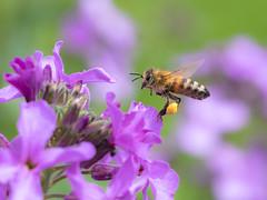 Busy Bee (de_frakke) Tags: insect flowers garden flying landing collecting pollen bee working