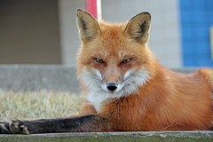 Barker (marylee.agnew) Tags: red fox barker close male nature urban sun wildlife outdoor beauty book wise realm
