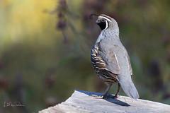 California Quail (Lisa Roeder) Tags: birds quail lososos sweetsprings natgeo