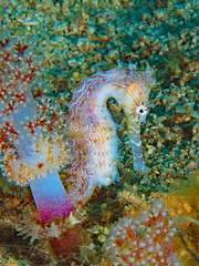 Thorny Seahorse (Hippocampus histrix) clinging to a blossom of Soft Coral (oceanzam) Tags: ocean sea shore beach water underwater travel scuba diving buceo bright light color colorful pink eyes tail animal nature life aquatic marine macro muck sand philippines agua coral reef seahorse uwmacro uwphotography earth beauty white holiday species biology genus