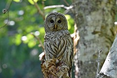 Are you looking for me?! (Snixy_85) Tags: owl barredowl strixvaria
