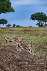 Evening Stretch (Xenedis) Tags: acinonyxjubatus africa afrika animal bigcat cat cheetah duma eastafrica grass kenya kisaru maasaimara maranorthconservancy narokcounty plains republicofkenya riftvalley safari tree wildlife ig