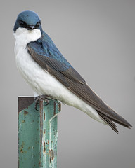 Before the Attack (TW Olympia) Tags: tree swallow toppenish national wildlife refuge