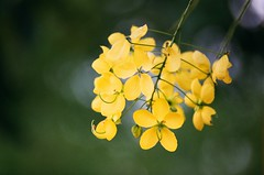 Golden Shower Tree (Kimi Wu 1973) Tags: canon t90 fd 200mm f28 fujicolor c200 taiwan taichung 台中 golden shower tree 阿勃勒
