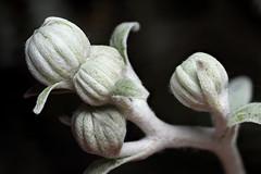Senecio flower buds (Lord V) Tags: macro flower senecio