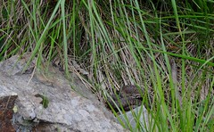 Vipera berus (aspisatra) Tags: vipera berus viperaberus marasso peliade viper serpente serpent snake ticino