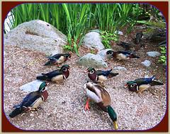 Guys' Night Out (FernShade) Tags: vancouverbc stanleypark lostlagoon woodducks aixsponsa ducks drakes mallard birds avian wildlife nature