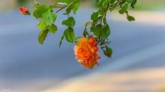 One single Rose - 6905 (✵ΨᗩSᗰIᘉᗴ HᗴᘉS✵62 000 000 THXS) Tags: rose single flower flora nature belgium europa aaa namuroise look photo friends be yasminehens interest eu fr party greatphotographers lanamuroise flickering