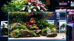 Green Aqua Showroom (viktorlantos) Tags: aquascaping aquascape aquariumplants adahungary aquarium aquascapingshopbudapest aquadesignamano ada aquaticplants plantedaquarium plantedtank plantedaquariumgallery greenaquagallery greenaquahungary növényesakvárium natureaquarium aquariumphotography underwaterphotography inspiration interriordesign colors nature