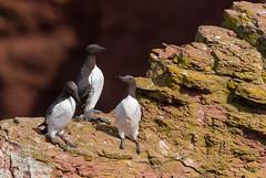 Trottellummen (wernerlohmanns) Tags: wildlife natur outdoor northsea nikond750 nordsee helgoland deutschland lummen trottellummen wasservögel sigma150600c schärfentiefe