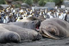 Southern Elephant Seals sunbathing/sleeping on the beach (Paul Cottis) Tags: cooperbay southgeorgia southatlantic pinniped seal marine mammal beach lazy 28 january 2019 jan paulcottis