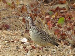 Crested Francolin / Bospatrys (Pixi2011) Tags: birds spurfowl wildbirds krugernationalpark southafrica africa wildlifeafrica nature shingwedzi
