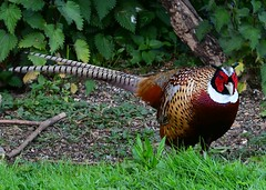 Pheasant (gillybooze (David) Away) Tags: ©allrightsreserved bird pheasant birdwatcher outside wildlife grass trees feathers outdoor wild