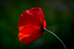 Poppy (photalena) Tags: tessar red summer flower poppy wildflower carlzeissjenatessar2850 nature flora onesingleflower crazytuesday