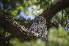Barred Owl (Strix varia) Victoria, BC (Freshairphotography by Janis Morrison) Tags: barredowl owl owlet youngowl victoriabc victoria greatervictoria vancouverisland beautifulbc wildanimal wildlife