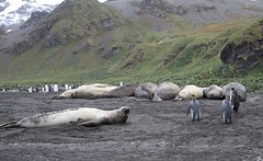 Southern Elephant Seals lined up on the beach with curious King Penguins (Paul Cottis) Tags: cooperbay southgeorgia southatlantic pinniped seal marine mammal beach lazy 28 january 2019 jan paulcottis