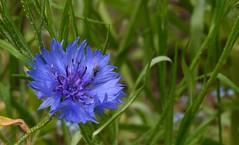 Korenbloem - Centaurea cyanus (henkmulder887) Tags: korenbloem centaureacyanus havelte wildebloemen wei blauw juni insekten