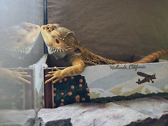 2C3BC722-135B-472C-BD00-5C5BF35B222C (grimmthedragon) Tags: bearded dragon beardeddragon lizard reptile hangar24