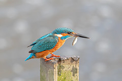 Kingfisher (Linda Martin Photography) Tags: dorset male wildlife bournemouth nature bird northbourne riverstour stourvalley kingfisher uk alcedoatthis naturethroughthelens coth coth5 ngc npc