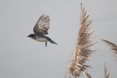 "Leaping in to action (A Great Capture) Tags: easternkingbird agreatcapture agc wwwagreatcapturecom adjm ash2276 ashleylduffus ald mobilejay jamesmitchell toronto on ontario canada canadian photographer northamerica torontoexplore spring springtime printemps 2019 sigma ""150500mmf563apodgoshsm"" natur nature naturaleza natura naturephotography naturethroughthelens eos digital dslr lens canon 70d outdoor outdoors outside light sun sunny sunshine sunlight gold golden bird vogel oiseau πουλί madár uccello ptak pássaro птица vták fågel 새 鸟 birding wilderness lesliestreetspit tommythompsonpark plant wild wildlife coth5"
