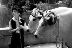 L'enfant et les vaches (PierreG_09) Tags: ariège pyrénées pirineos couserans midipyrénées occitanie saintgirons autrefoislecouserans2010 enfant garçon vaches béret bw nb