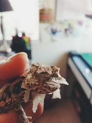 tumblr_n8grzzyyth1qb6je2o1_500 (grimmthedragon) Tags: beardeddragon lizard reptile vsco reptiles babydragon