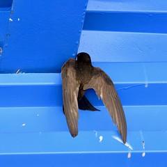 Un #vencejo común (Apus #apus) arrimándose al #nido #volando #nest #Apodiformes #apódidos #Apodidae #falciot #commonswift #swift #aves #birds #birdsofinstagram #birdsofinsta #pajaros #fly #flying (Carolina_BCN) Tags: vencejo apus nido volando nest apodiformes apódidos apodidae falciot commonswift swift aves birds birdsofinstagram birdsofinsta pajaros fly flying
