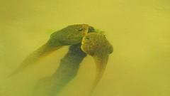 Tadpoles (Hayseed52) Tags: tadpoles pollywogs amphibians water pond pondlife virginia