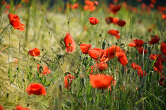 Coquelicots charmants (Croc'odile67) Tags: nikon d3300 sigma contemporary 18200dcoshsmc flowers fleurs coquelicots poppies nature champ rouge red