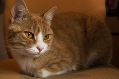 Ginger cat (Nela Kovac) Tags: photography animal pet pets animals animalphotography cat cats ginger indoors eyes color detail love