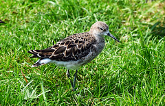 RUFF FEMALE (11birdman11) Tags: britishbirds birds butterflies bugs moths mammals hank