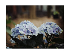 A little gift for Wolfi Wolf ... (Thomas Listl) Tags: thomaslistl wolfiwolf flower flowers flora blue 35mm wideopen birthday anniversary best eneamaemü bokeh present gift espresso butler
