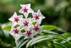 CT - A Single Flower(head)... of the Hoya Bella. (Different Aspects) Tags: crazytuesday asingleflower hoya flora flower hoyabella
